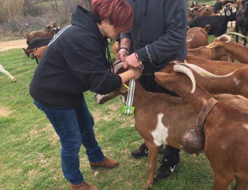Placing, IoT Digitanimal Collars at goats